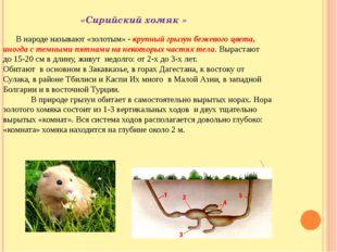 «Сирийский хомяк » В народе называют «золотым» - крупный грызун бежевого цве