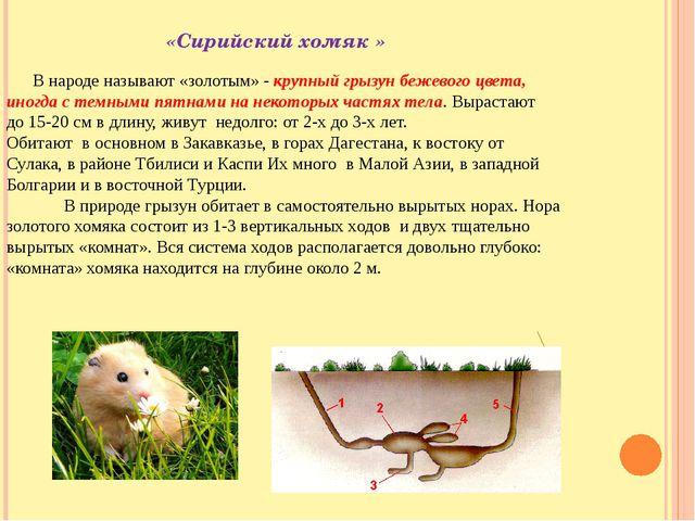 «Сирийский хомяк » В народе называют «золотым» - крупный грызун бежевого цве...
