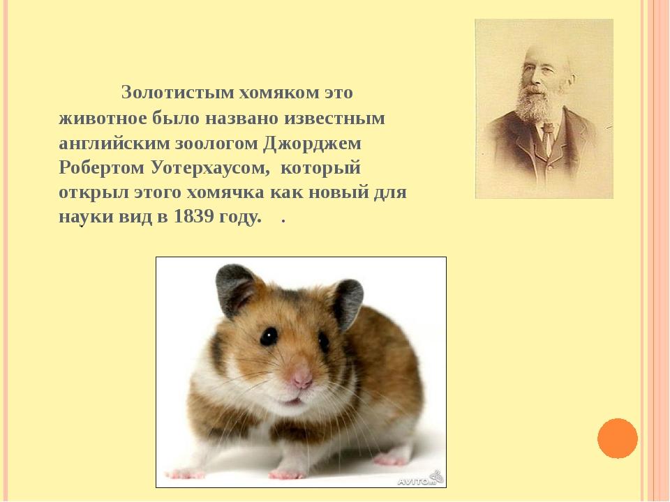 Золотистым хомяком это животное было названо известным английским зоологом Д...
