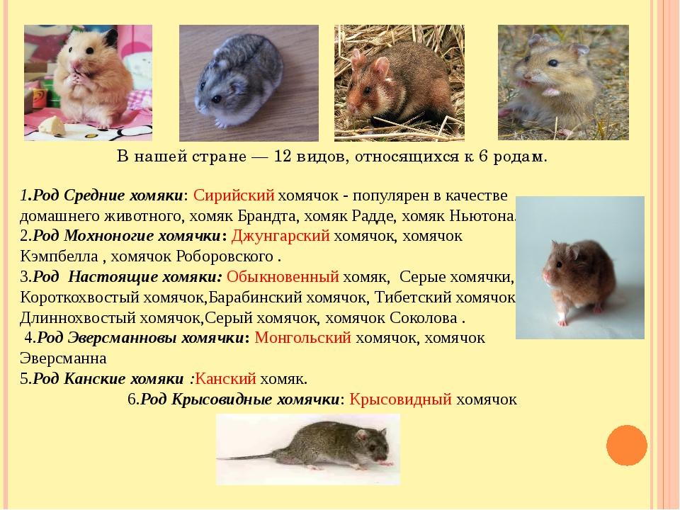 1.Род Средние хомяки: Сирийский хомячок - популярен в качестве домашнего жив...