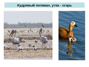 Кудрявый пеликан, утка - огарь