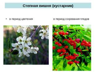 Степная вишня (кустарник) в период цветения в период созревания плодов