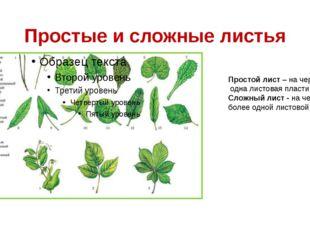 Простые и сложные листья Простой лист – на черешке одна листовая пластинка; С