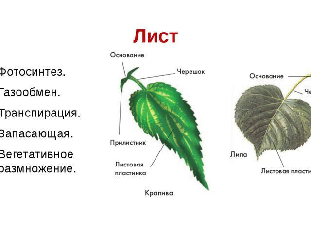 Лист Фотосинтез. Газообмен. Транспирация. Запасающая. Вегетативное размножение.
