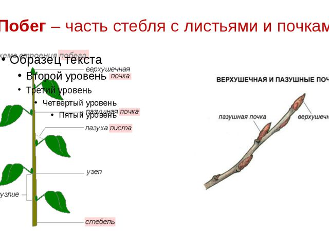 Побег – часть стебля с листьями и почками.