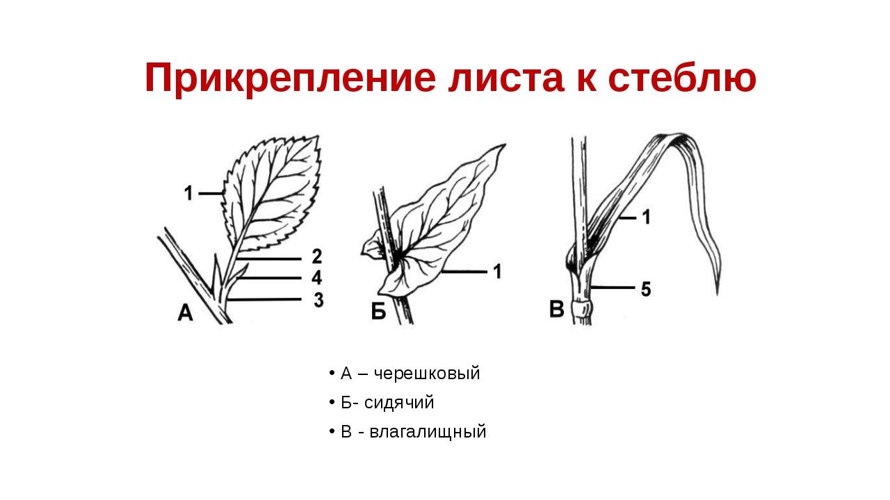 Прикрепление листа к стеблю А – черешковый Б- сидячий В - влагалищный