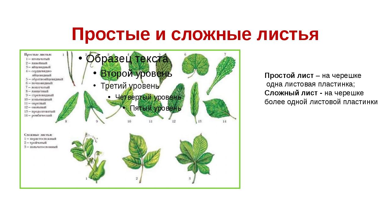 Простые и сложные листья Простой лист – на черешке одна листовая пластинка; С...