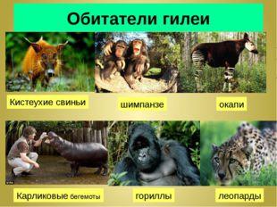 Обитатели гилеи Кистеухие свиньи шимпанзе окапи Карликовые бегемоты гориллы л