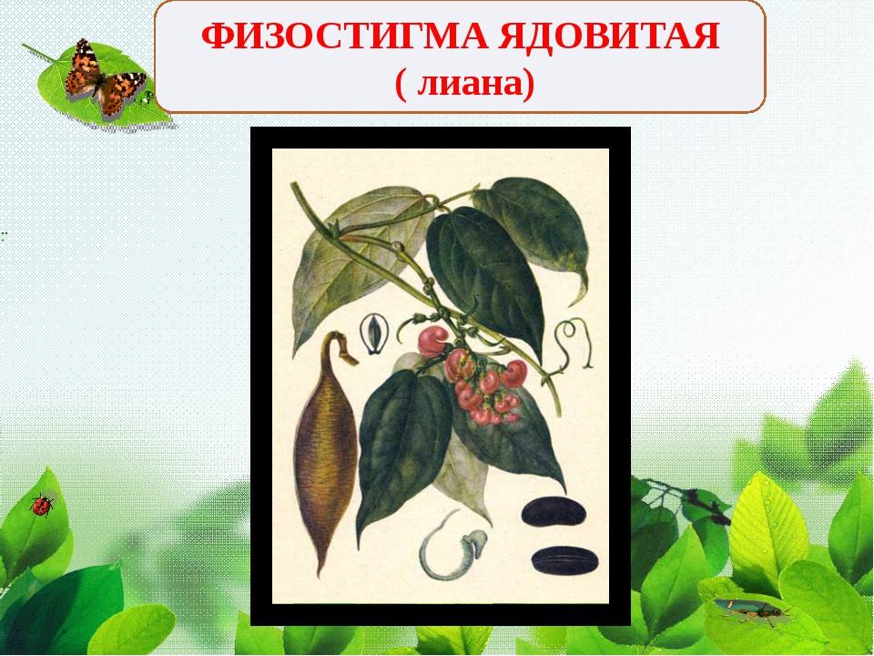 ФИЗОСТИГМА ЯДОВИТАЯ ( лиана)