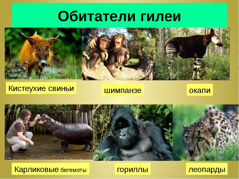 Обитатели гилеи Кистеухие свиньи шимпанзе окапи Карликовые бегемоты гориллы л...