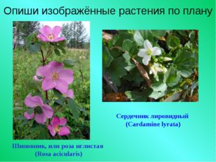 Опиши изображённые растения по плану Шиповник, или роза иглистая (Rosa acicul