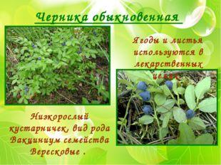 Черника обыкновенная Низкорослый кустарничек, вид рода Вакциниум семейства Ве
