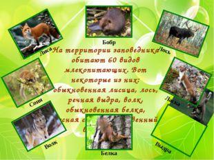 На территории заповедника обитают 60 видов млекопитающих. Вот некоторые из ни