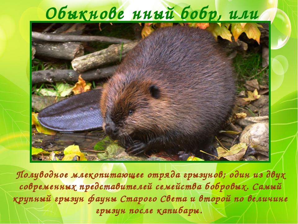 Обыкнове́нный бобр, или речно́й бобр Полуводное млекопитающее отряда грызунов...