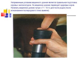Непременным условием машинного доения является правильная подготовка коровы к