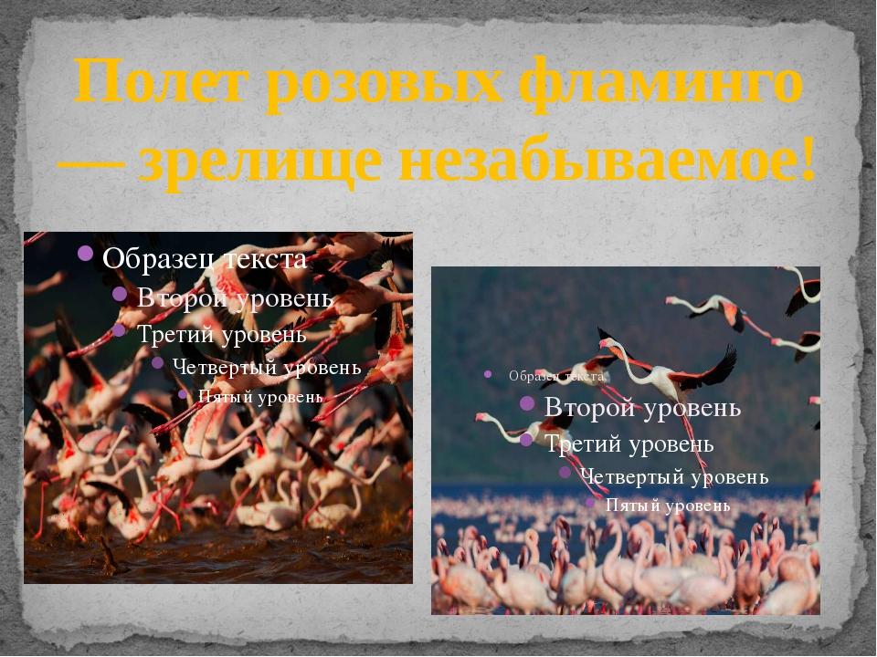 Полет розовых фламинго — зрелище незабываемое!