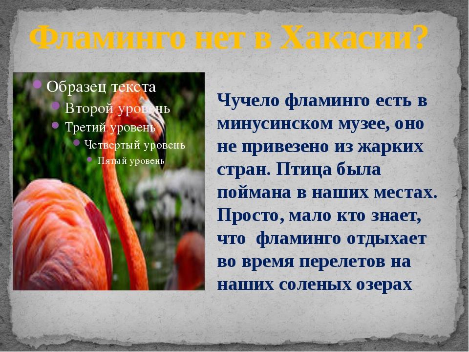 Фламинго нет в Хакасии? Чучело фламинго есть в минусинском музее, оно не прив...