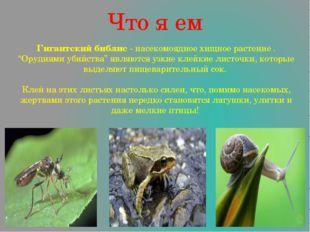 """Что я ем Гигантский библис - насекомоядное хищное растение . """"Орудиями убийст"""