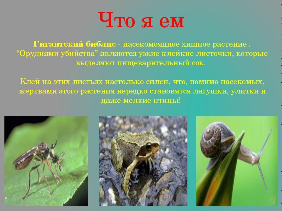 """Что я ем Гигантский библис - насекомоядное хищное растение . """"Орудиями убийст..."""