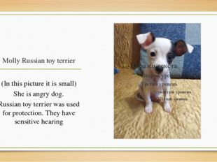 Molly Russian toy terrier (In this picture it is small) She is angry dog. Rus