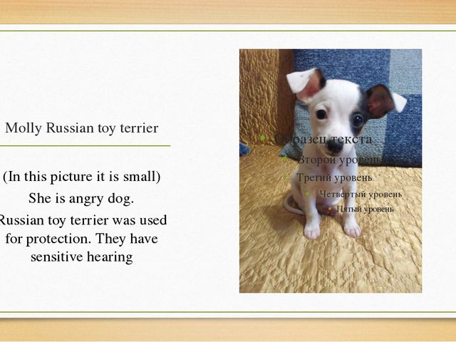 Molly Russian toy terrier (In this picture it is small) She is angry dog. Rus...