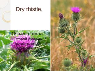 Dry thistle.