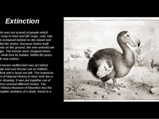 Extinction The dodo was not scared of people which made it easy to hunt and k