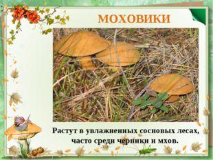 МОХОВИКИ Растут вувлажненных сосновых лесах, часто среди черники имхов.