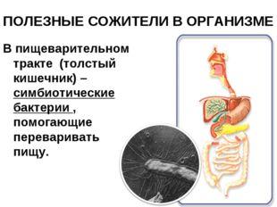 ПОЛЕЗНЫЕ СОЖИТЕЛИ В ОРГАНИЗМЕ В пищеварительном тракте (толстый кишечник) – с