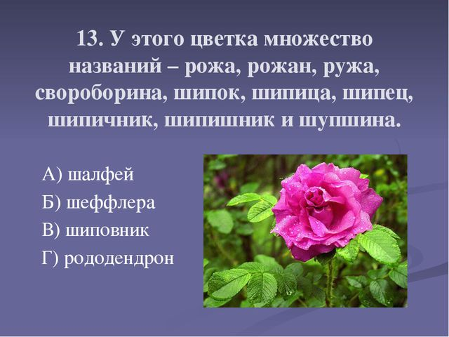 13. У этого цветка множество названий – рожа, рожан, ружа, свороборина, шипок...