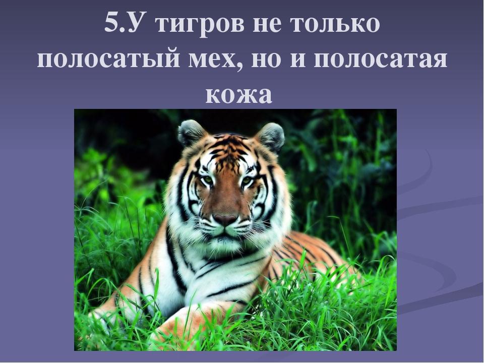 5.У тигров не только полосатый мех, но и полосатая кожа