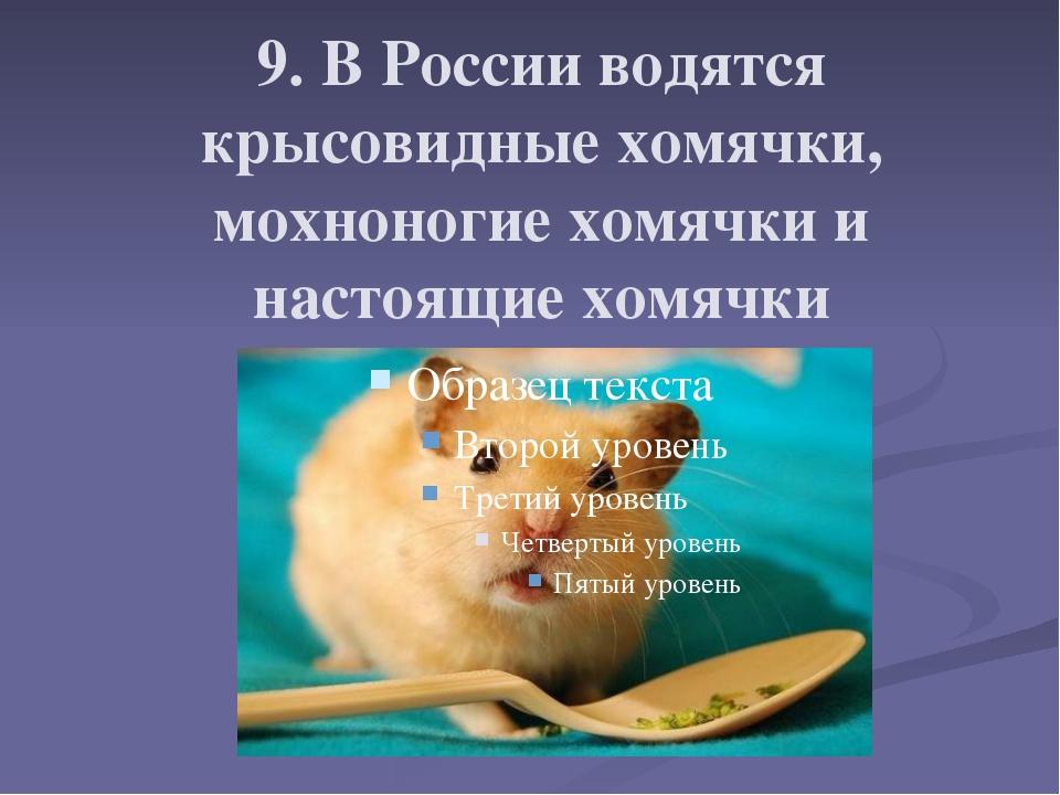 9. В России водятся крысовидные хомячки, мохноногие хомячки и настоящие хомя...