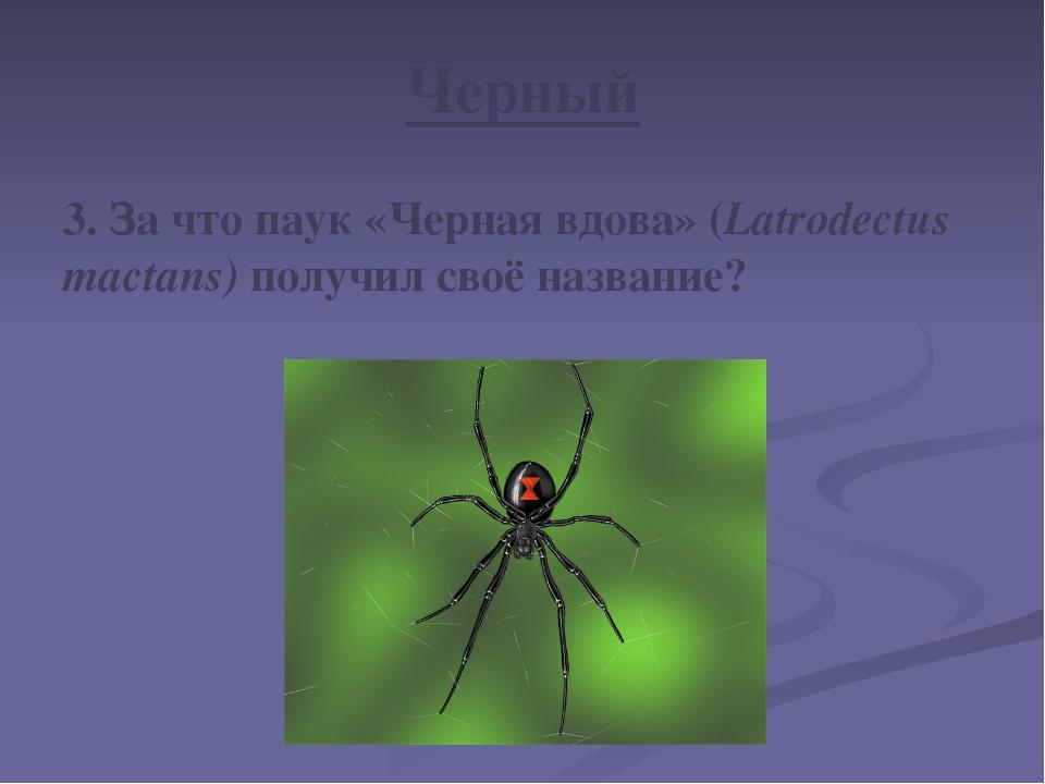 Черный 3. За что паук «Черная вдова» (Latrodectus mactans) получил своё назва...