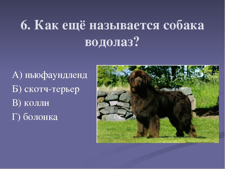 6. Как ещё называется собака водолаз? А) ньюфаундленд Б) скотч-терьер В) колл...
