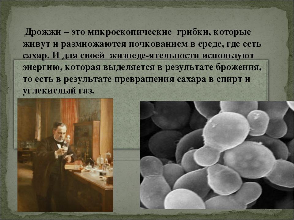 Дрожжи – это микроскопические грибки, которые живут и размножаются почковани...