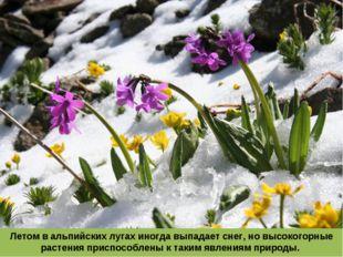 Летом в альпийских лугах иногда выпадает снег, но высокогорные растения присп