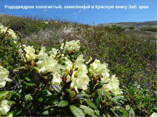 Рододендрон золотистый, занесённый в Красную книгу Заб. края