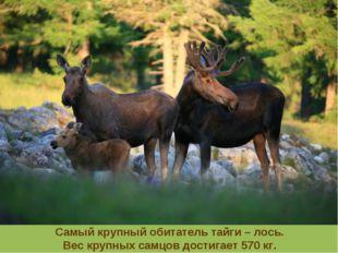 Самый крупный обитатель тайги – лось. Вес крупных самцов достигает 570 кг.