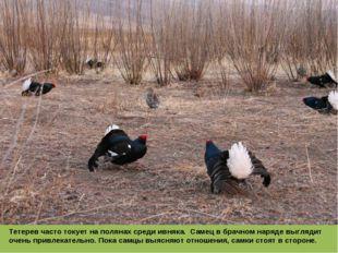 Тетерев часто токует на полянах среди ивняка. Самец в брачном наряде выглядит