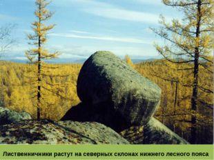 Лиственничники растут на северных склонах нижнего лесного пояса