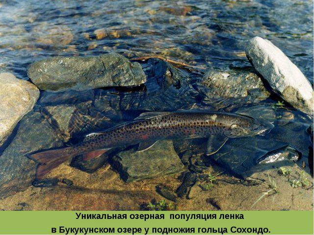 Уникальная озерная популяция ленка в Букукунском озере у подножия гольца Сохо...
