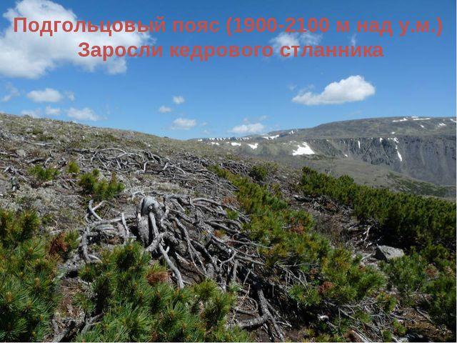 Подгольцовый пояс (1900-2100 м над у.м.) Заросли кедрового стланника