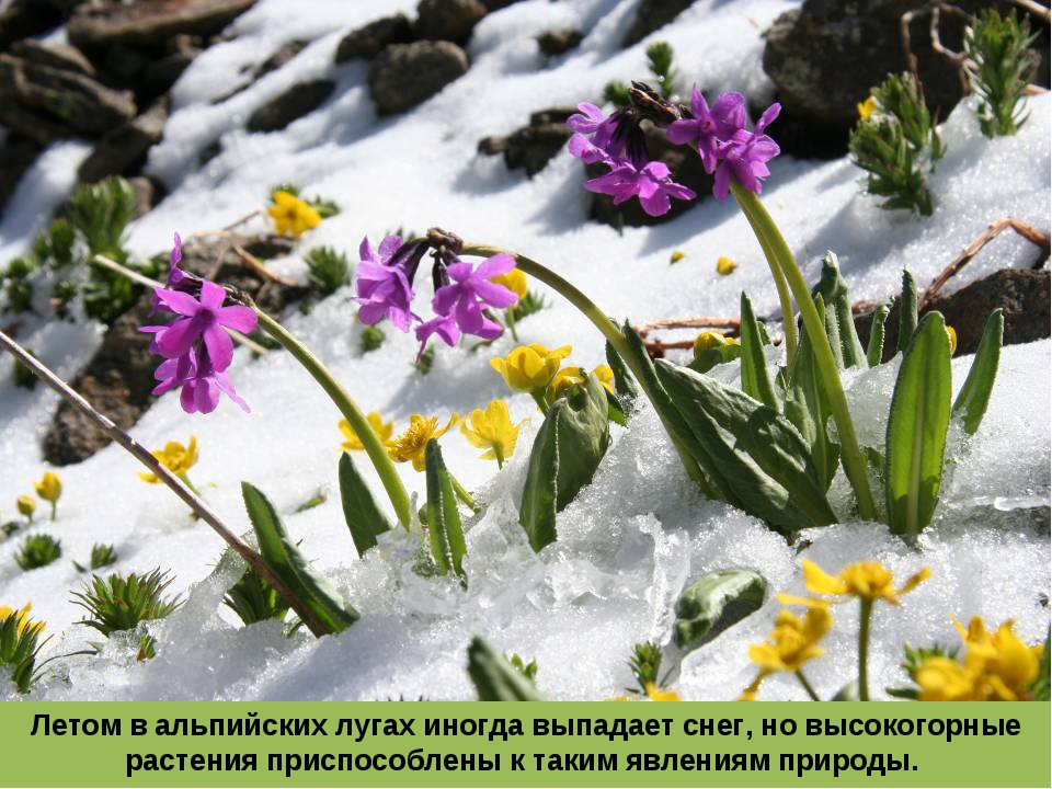Летом в альпийских лугах иногда выпадает снег, но высокогорные растения присп...