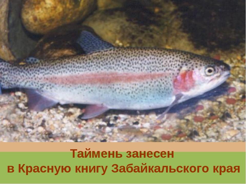 Таймень занесен в Красную книгу Забайкальского края