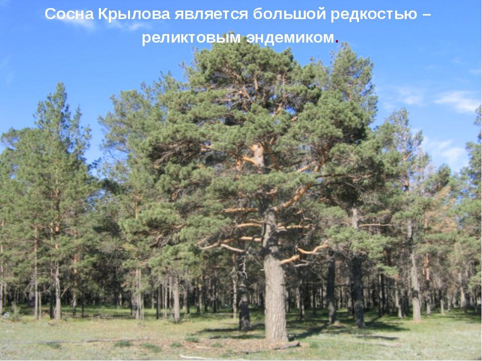 Сосна Крылова является большой редкостью – реликтовым эндемиком.