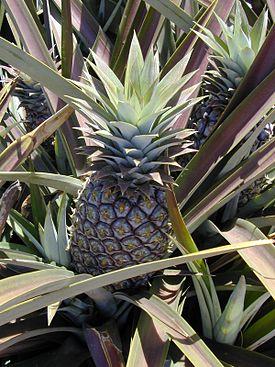 Starr 020630-0018 Ananas comosus.jpg