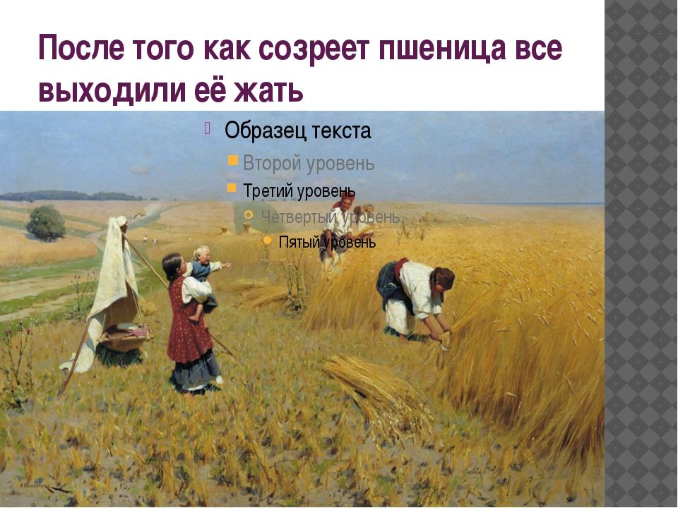 После того как созреет пшеница все выходили её жать
