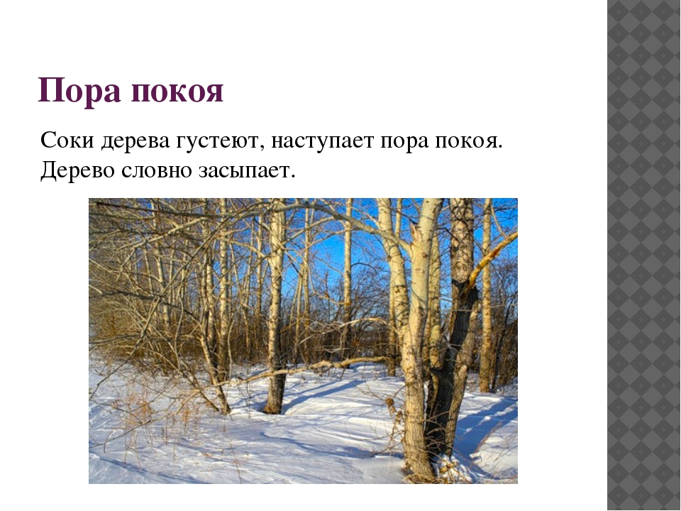 Пора покоя Соки дерева густеют, наступает пора покоя. Дерево словно засыпает.