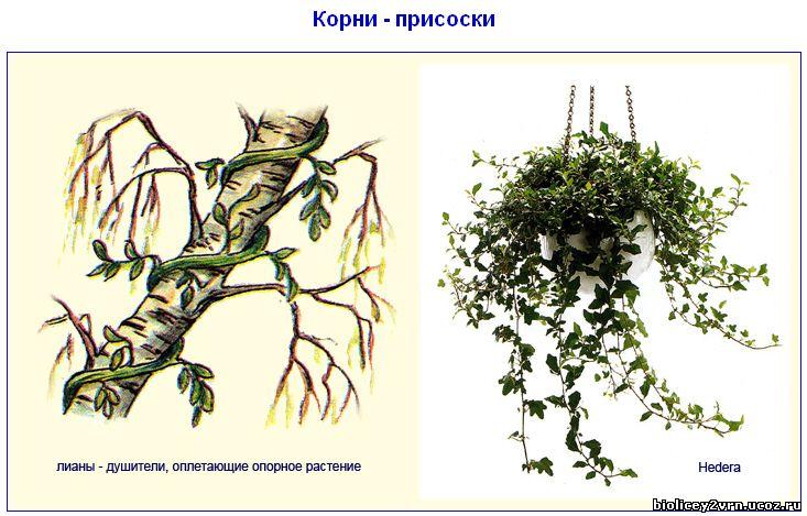 http://biolicey2vrn.ucoz.ru/Stroen_rasten/Korni-prisos.jpg