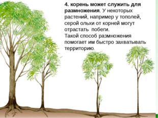 4. корень может служить для размножения. У некоторых растений, например уто